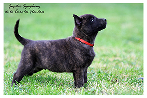 Dutch Shepherd Kennel De La Terre Des Flandres